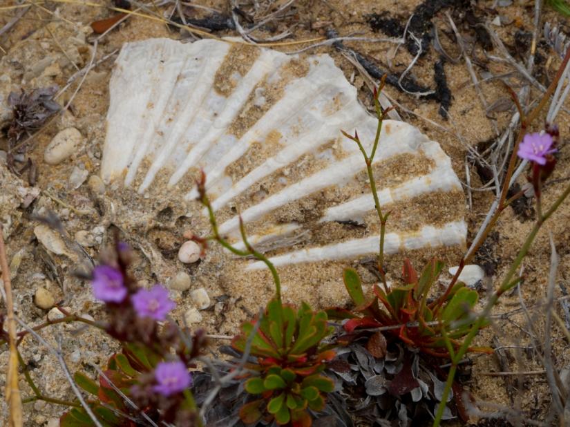 Además de la Camarina hemos podido ver fósiles y las siemprevivas del Estrecho